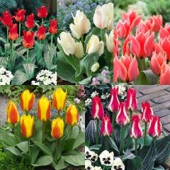 50 Greigii Tulip Collection