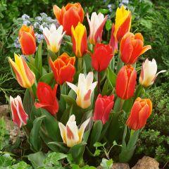 Tulip Greigii & Kaufmanniana Mixed
