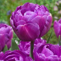 10 Tulip Blue Diamond