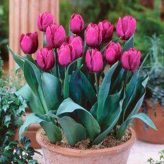 10 Tulip Purple Prince