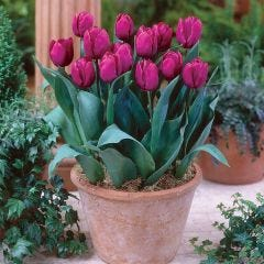 Tulip Purple Prince