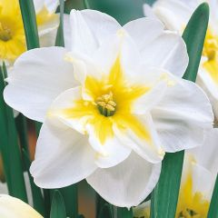 Narcissi Lemon Beauty