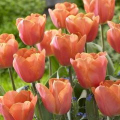 10 Tulip Jimmy