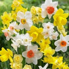 Fragrant Daffodils Mixed