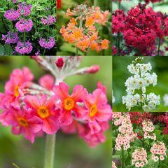 6 Primula Candelabra Collection
