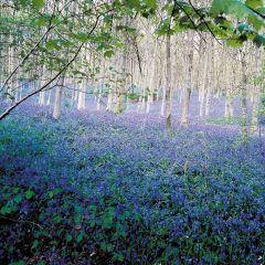 English Bluebells (Hyacinthoides Non Scripta)