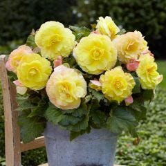 3 Begonia Mighty Mini Superba Yellow