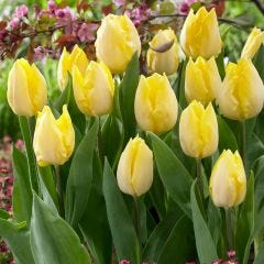 10 Tulip Sunny Prince