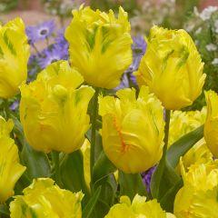 5 Tulip Texas Gold