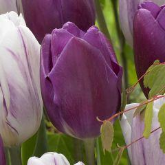 10 Tulip Purple Flag