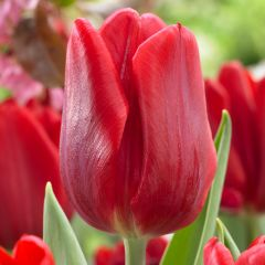 10 Tulip Red Flag