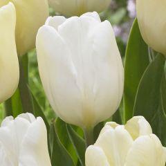10 Tulip White Flag