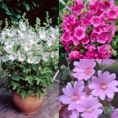 3 Lavatera Collection