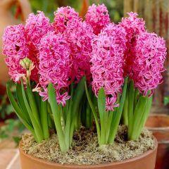 5 Hyacinth Pink Pearl