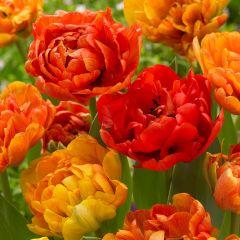 10 Tulip Sunlover