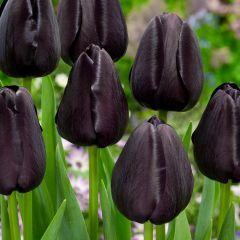 Tulip Queen of Night 11/12cm