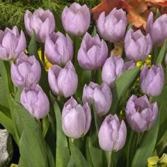 10 Tulip Candy Prince
