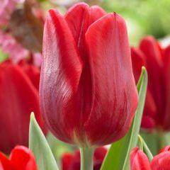 10 Tulip Ruby Prince