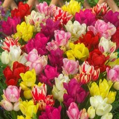 Tulip Compact Multi-flower Mixed