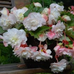 Begonia Splendide Ice Maiden