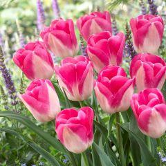 10 Tulip Innuendo