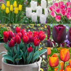 60 Triumph Tulip Collection