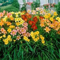 Hemerocallis Mixed