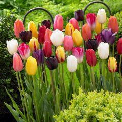 Single Late Tulips Mixed 10/11cm
