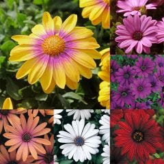 Serenity Osteospermum Collection
