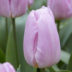 10 Tulip Pink Prince