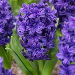 Hyacinth Manhattan
