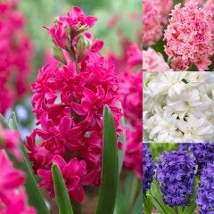 20 Double Hyacinth Collection
