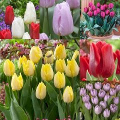 60 Tulip Single Early Royal Collection