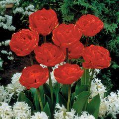 10 Tulip Miranda