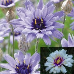 6 Catananche Collection