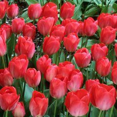 10 Tulip Van Eijk