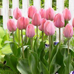 10 Tulip Mystic Van Eijk