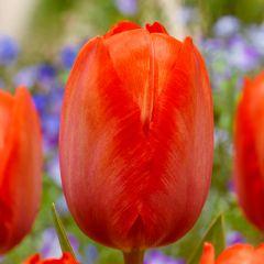 10 Tulip Orange Van Eijk