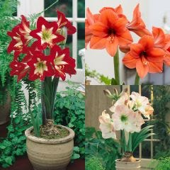 3 Amaryllis Exhibition Collection