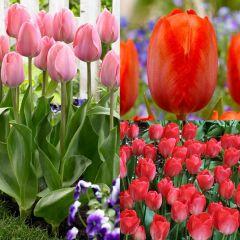 40 Tulip Van Eijk Collection