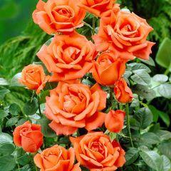 Rose Joro
