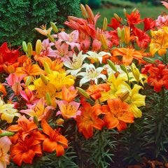 Lily Asiatic Giant Size Mixed
