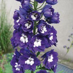 Delphinium Magic Fountain Blue