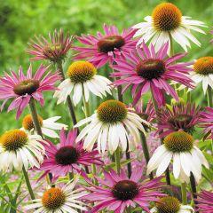 12 Echinacea Purpurea Collection