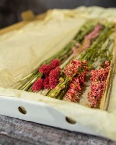 Dried Letterbox Flowers in Pink