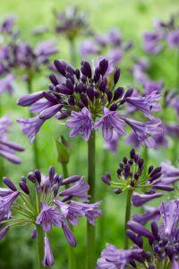 Agapanthus Poppin Purple