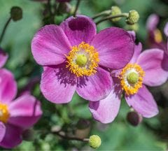 Japanese Anemone Collection