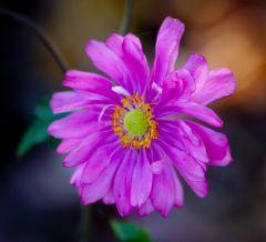 Anemone Pamina