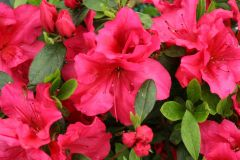 Azalea Bloom Champion Red