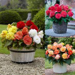18 Begonia Mighty Mini Superba Collection